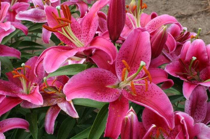 lily gallery, Beautiful flower
